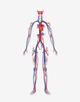 vascularisation du corps
